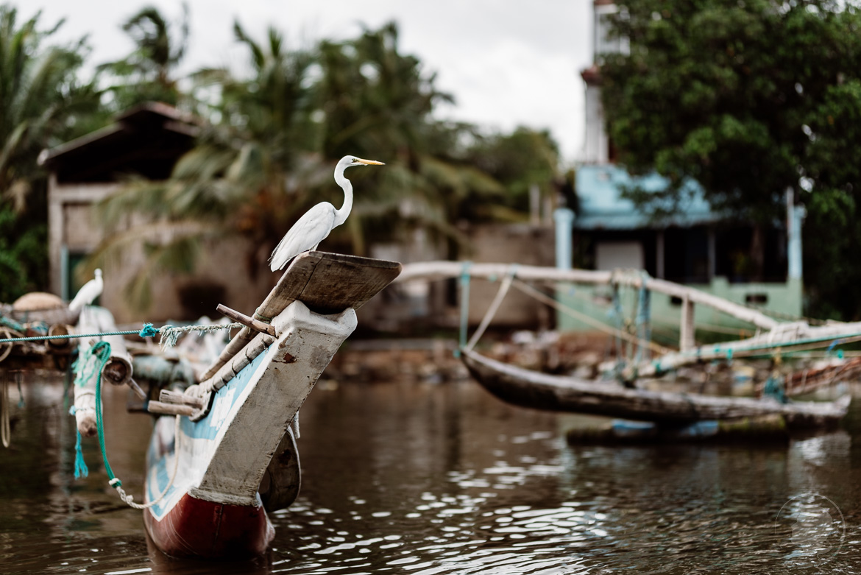 Silberreiher - Negombo Sri Lanka