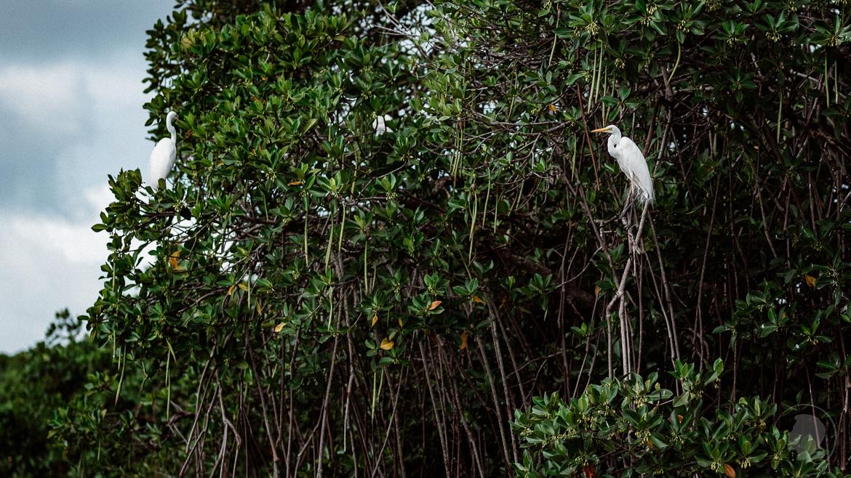 Silberreiher in der Negombo Lagune