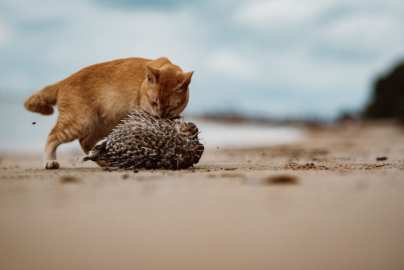 Cat trying the pufferfish at Langkawi Black Sand Beach,