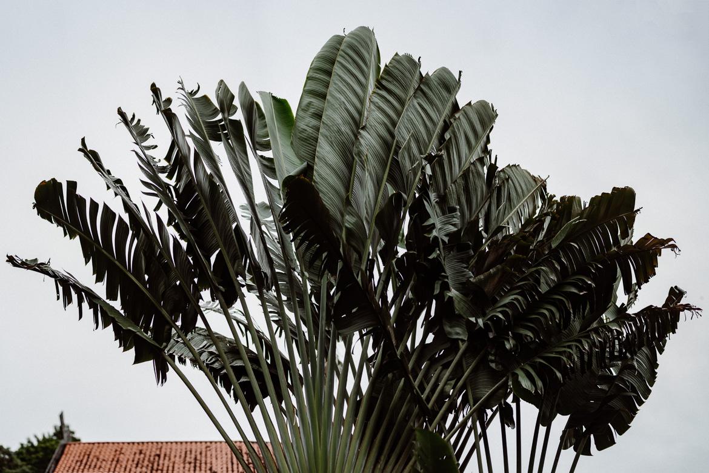 Langkawi-Palme