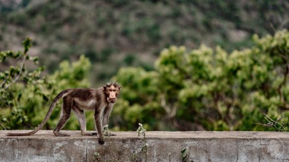 Kerala monkey
